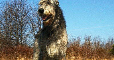 What About Dogs The Irish Wolfhound