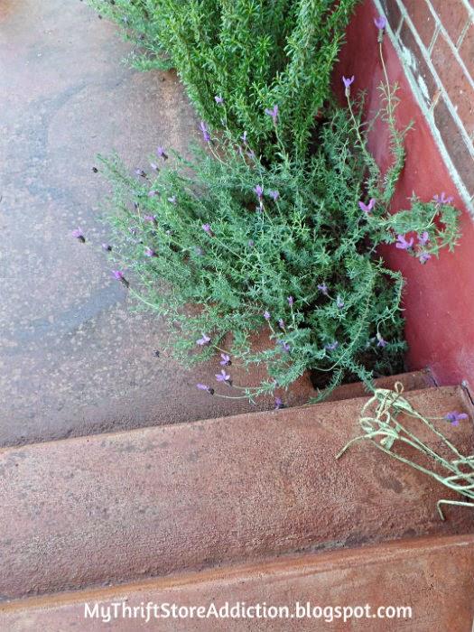 Lavender lined walkway