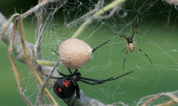 7 faits sur les images d'araignée de veuve noire