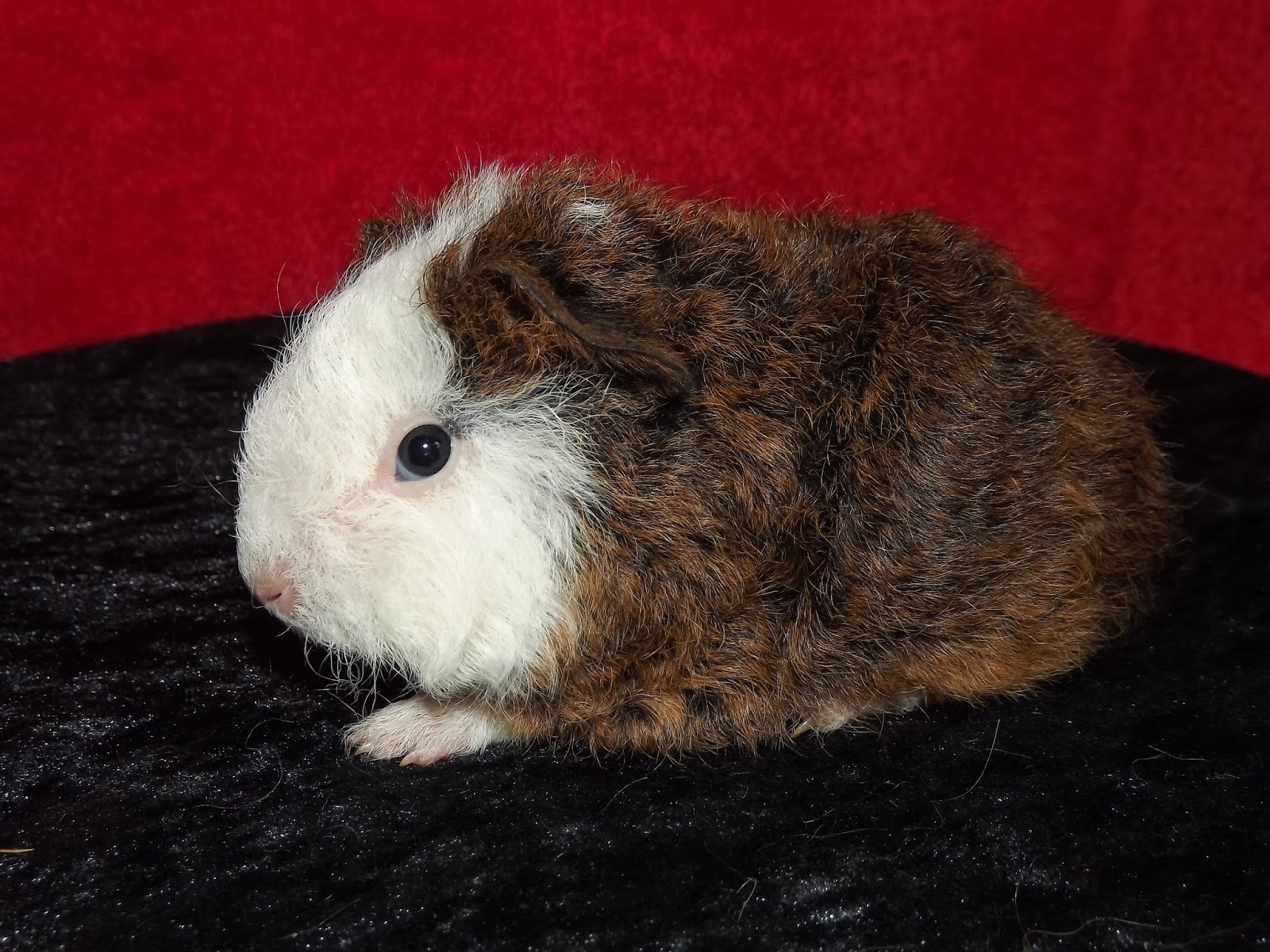 medium resolution of a pet cavy pup