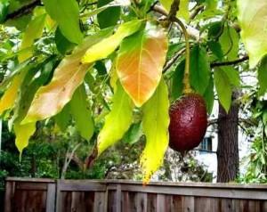 Health Benefits of Avocado Leaves