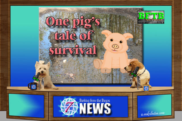 BFTB NETWoof News Top Story of pig surviving fire
