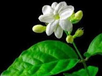 Jasmine health benefits flower at home