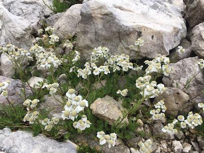 Achillea moschata – Musk Yarrow, Milfoil (Millefoglio aromatic)