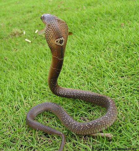 Monocled Cobras ~ Venomous SnakesNaja Kaouthia