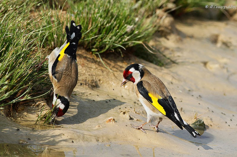 صور جميلة لطائر الحسون