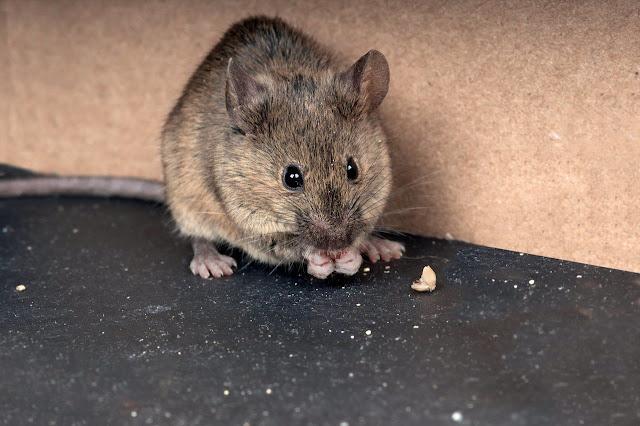 8 Cara Ampuh Mengusir Tikus Dirumah dengan Bahan Alami (100% Manjur)