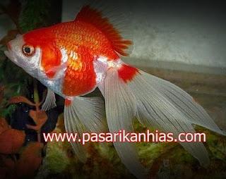 Ikan hias Mas Koki Calico