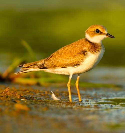 Indian birds - Image of Little ringed plover - Charadrius dubius