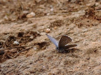 Pseudophilotes panoptes en Vimioso