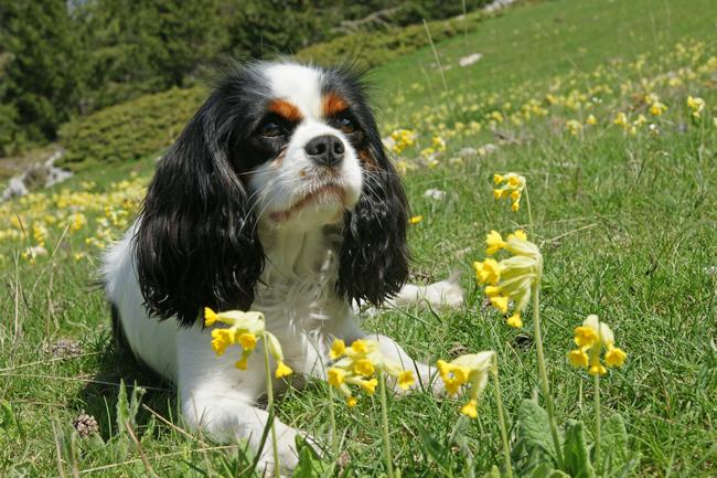 Psy rasy Cavalier King Charles Spaniel