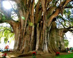 Pohon+Tule+Meksiko - 10 Pohon Terunik di Dunia