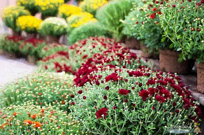 Keeping Garden Mums in Bloom Longer