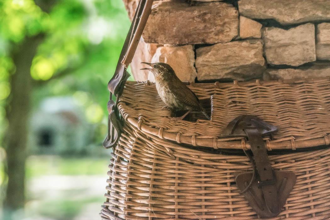 carolina wren singing in basket