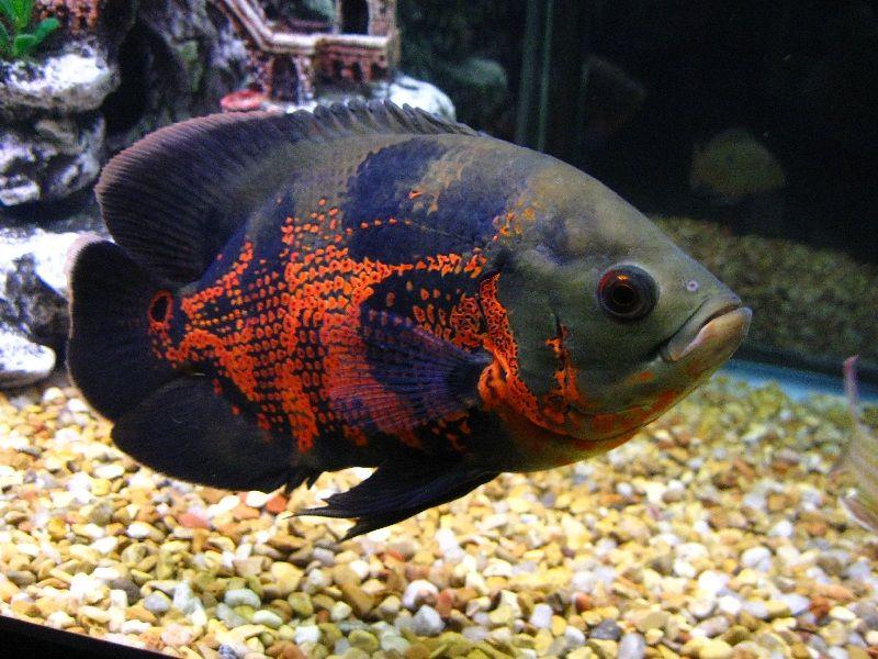 Tips Memilih Ikan Oscar Yang Bagus Dan Merawatnya