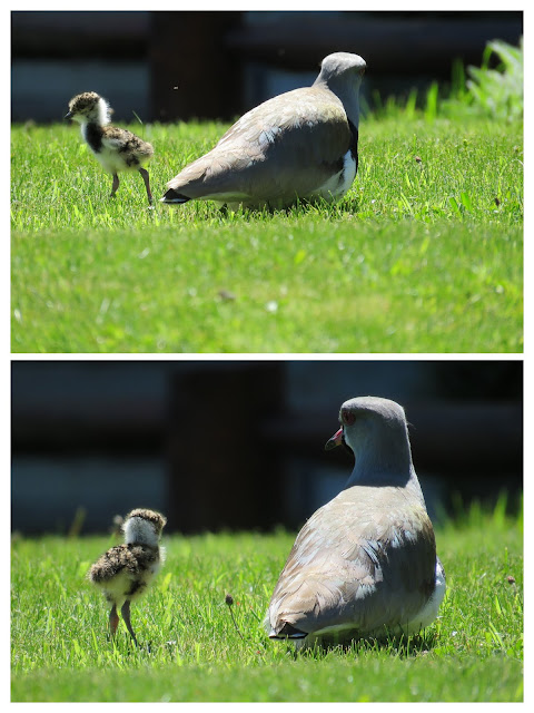 Birds of Patagonia: Adult southern lapwing and chick