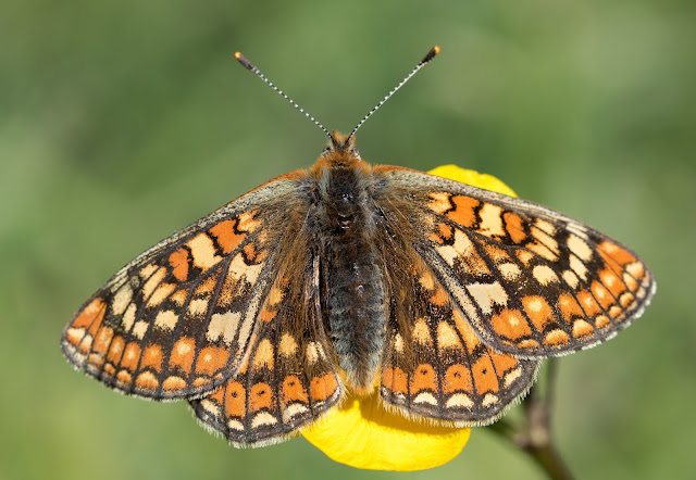 Marsh Fritillary - North Wales
