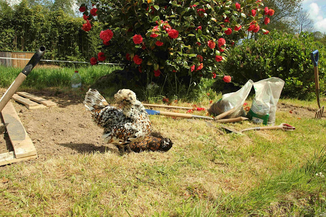 organic gardening using chickens for pest control
