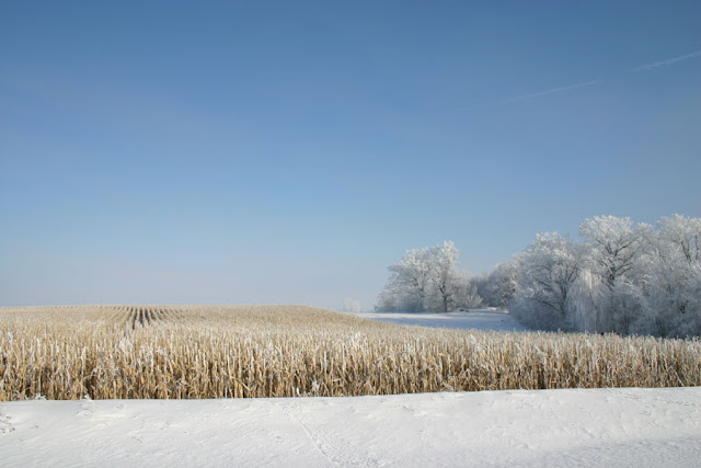Uncut corn, Fox Hollow Road, Iowa, winter