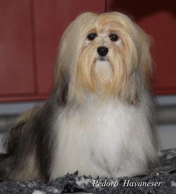 Havaneser Hündin ausgewachsen erwachsen Kleinhund VDH Giulietta  Welpen, VDH - Havaneser Hündin ausgewachsen, im Münsterland,
