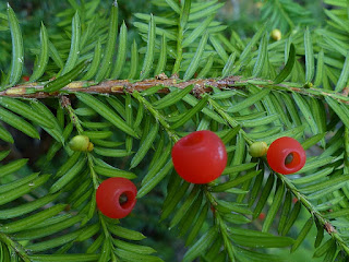 If du Canada - Taxus canadensis