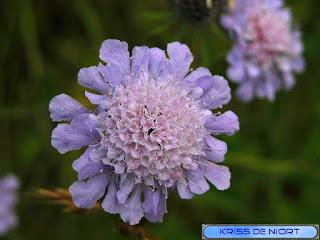 Scabieuse des champs - Knautie des champs - Knautia arvensis - Scabiosa arvensis