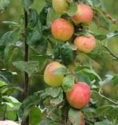 Tanaman apel ialah tanaman buah yang sering kita jumpai berada di sekitar kita Manfaat dan Khasiat Tanaman Apel (Pyrus Malus Mill)