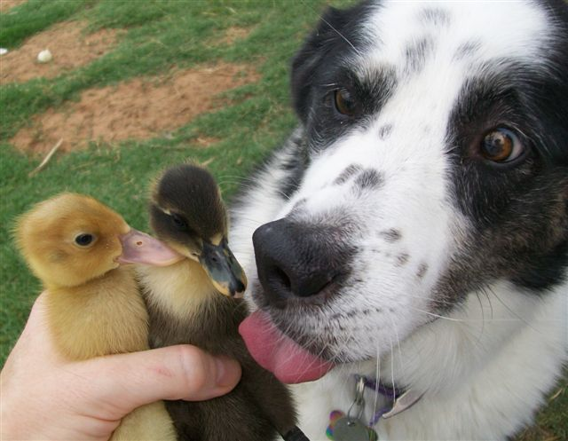 Hearts To The Rescue Az Duck Amp Animal Rescue Needs Food