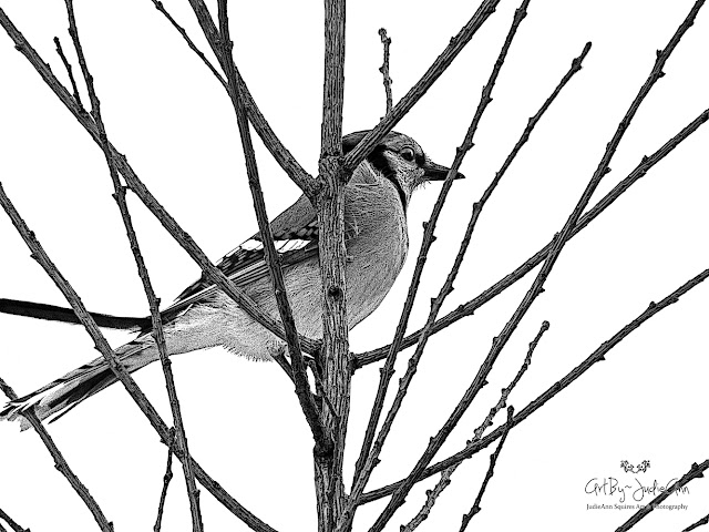 Print of blue jay