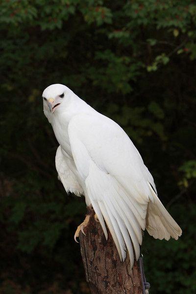 Hawk | A-Z List of 125 Rare Albino Animals [Pics]