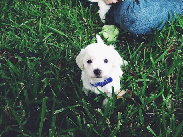Bichon_Frise_Puppy