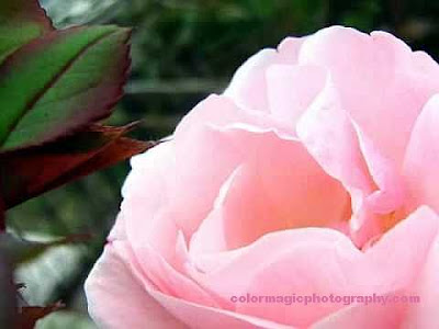 soft pink rose photo