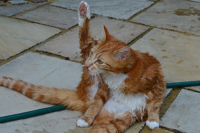 ginger cat stretching leg upwards