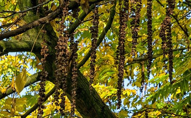 Pacana alada Pterocarya fraxinifolia