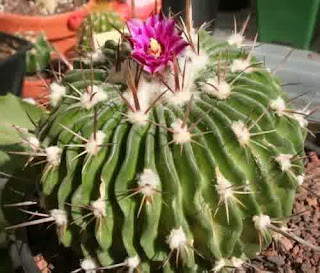 Easy Tips to Plant and Care For Ornamental Cactus Plants Good And Proper