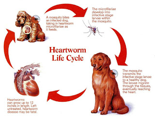 Heartgard Plus if Your Dog is Suffering From Heartworms