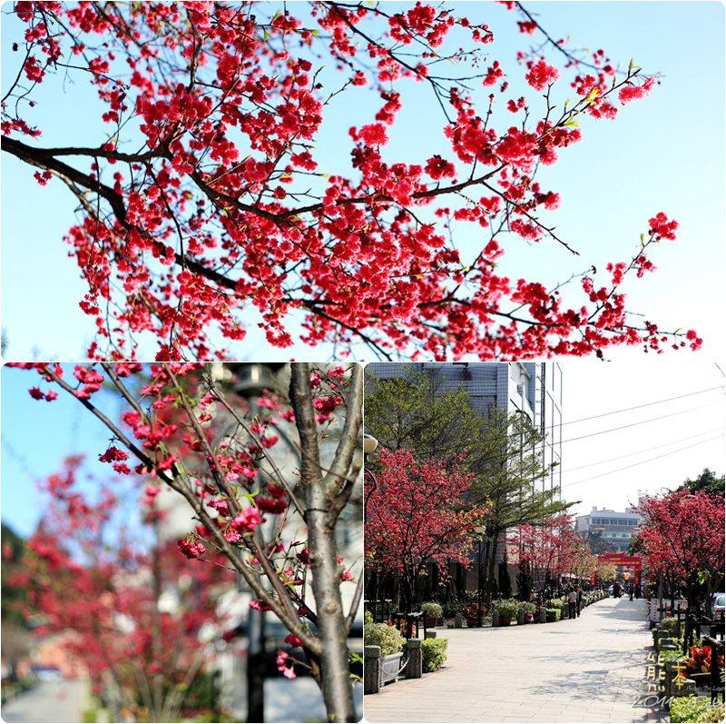 三峽民權路老街櫻花