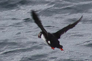 A Puffin Heads Home.