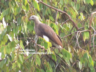 Grey Headed Fish Eagle (Botanic Gardens 21 June 2015)