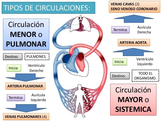 Circuito Mayor : Todo por la educaciÓn resumen sistema circulatorio Área