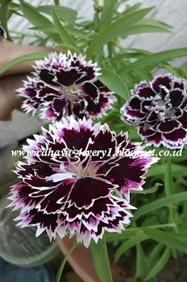 Growing dianthus chianti in tropical climates