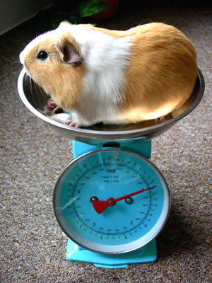 Weighing your guinea pig