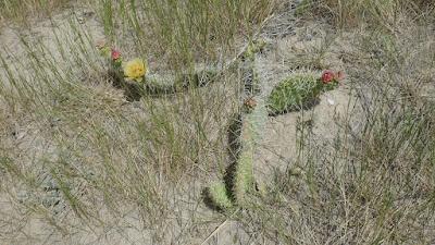 flower, Medicine Hat, Alberta, cactus