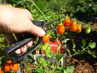 prune vining vegetables