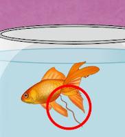 japon balığı kabız olunca