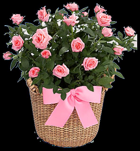 уход за комнатной розой, уход за розой, роза, удобрение для роз