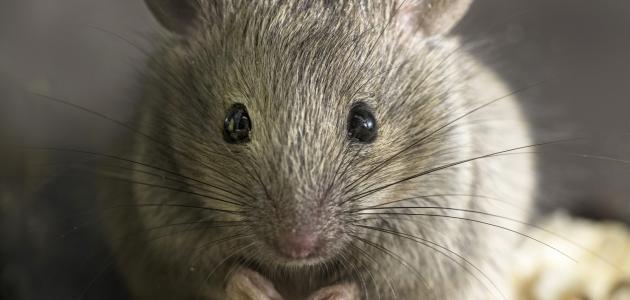 ما سبب وجود الفئران في البيت؟