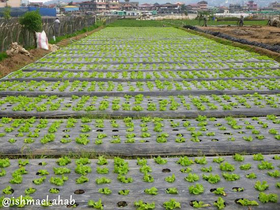 Lettuce farm in Strawberry Farm in La Trinidad, Benguet