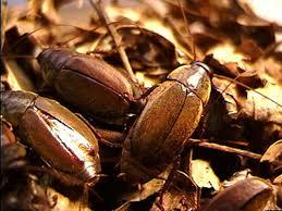 Kecoak Kumbang Pasifik ( Diploptera Punctata)