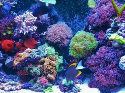 coral Ricordea florida